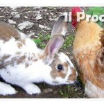 galline e conigli abbandonati
