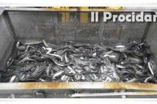 anguille sequestro