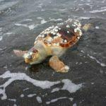tartaruga-spiaggia-di-ciraccio
