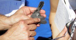 Inanellamento uccelli Vivara