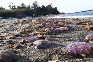 Meduse spiaggia Ischia